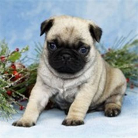 pug puppies for sale philippines come scegliere attrezzature pug puppies for sale