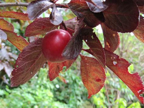 Cherry Plumb by Simon S Allotment Cherry Plum