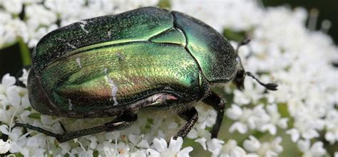 beetle garden pest identification insect identification bug identification garden pests