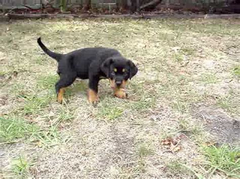 8 week rottweiler puppy the 8 week rottweiler