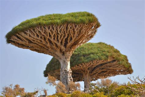 the sixteen trees of top 10 iconic african trees earth touch news network