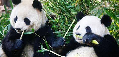 panda china china panda tours volunteer keeper program