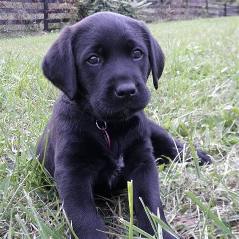 black lab puppies for sale in va black chocolate lab puppies for sale