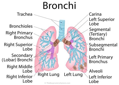 lungs definition location anatomy function diagram lung anatomy bronchi www pixshark com images galleries