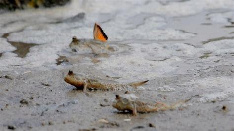 mud fish mud fish at pulau ubin on vimeo