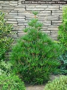 Zone Gardening - sciadopitys verticillata beauty green havlis cz