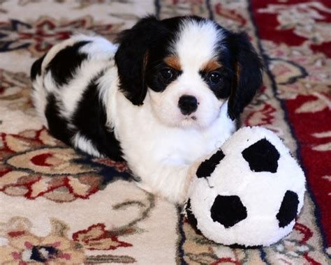 cavalier puppies for adoption wonderful cavalier king charles spaniel for adoption offer