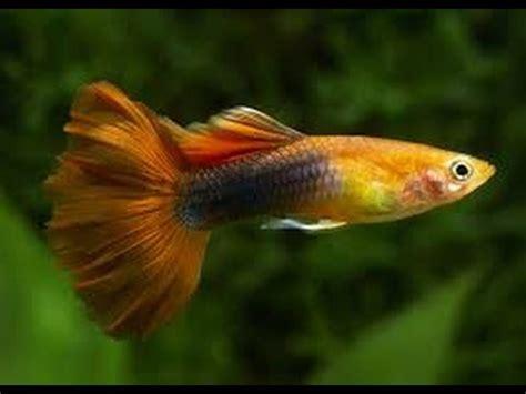 Pakan Ikan Koki Terbaik robert lechmere guppy