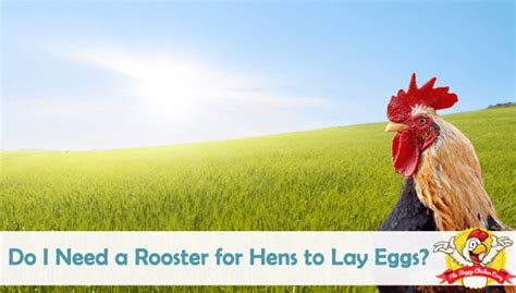 do i need a rooster for hens to lay eggs