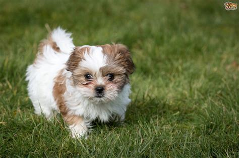 shih tzu puppy care information shih tzu breed information buying advice photos and facts pets4homes