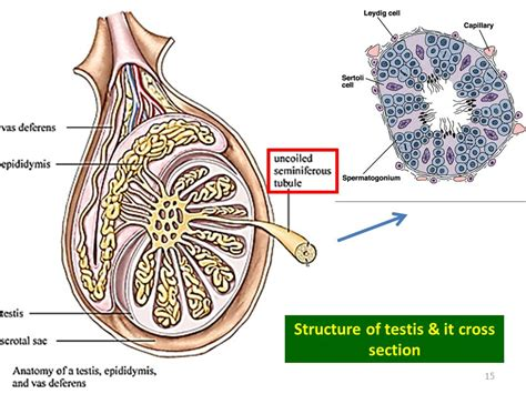 testis cross section 9 3 human reproductive system ppt download