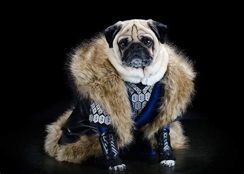 pug photo album family album of pered pugs in pictures and style the guardian