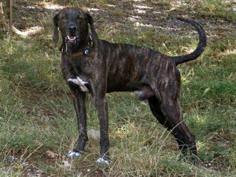 Coonhound Shedding by Rottweiler Big Breeds Breeds Picture