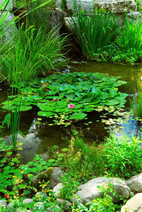 backyard pond plants garden fish pond plants