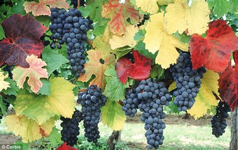 on the grapevine decorative as well as productive a vine