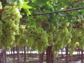 uva da tavola italia uva italia di canicatti