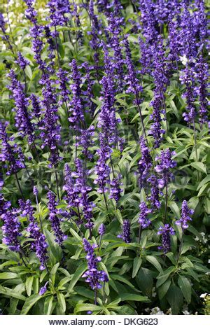 salvia farinacea victoria purple flowers bloom blossom