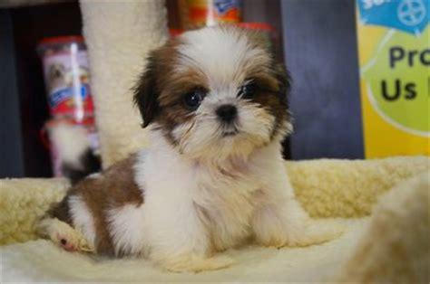 shih tzu coat type shih tzu puppies sold 4 years 11 months shih tzu thick coat and mini from klang