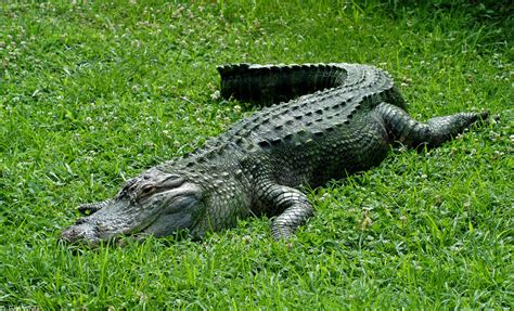 alligators and crocodiles national the american alligator few facts photographs the wildlife