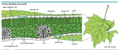 cross section of a leaf labeled photosynthesis additional biology gcse