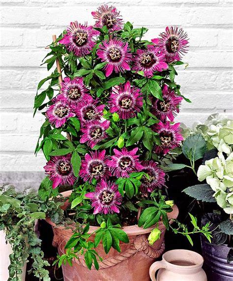 climbing plants for pots 24 best vines for containers climbing plants for pots