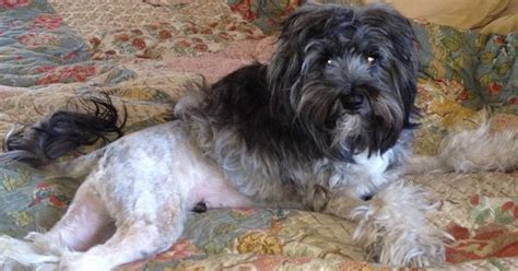 haircuts for tibetan terriers could mcqueen rock a lion cut dogs pinterest
