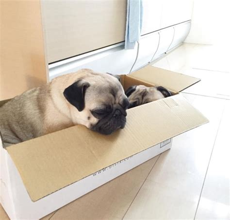 express pug 17 best images about pug dogs on pug meme pug and pug