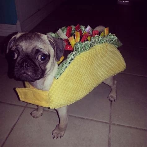 cutest pug in the whole world dressed up benji as a taco for cutest pug