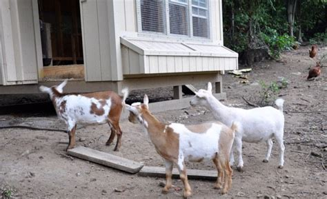 Backyard Goat by Intricacies Keeping Goats Chickens Yard