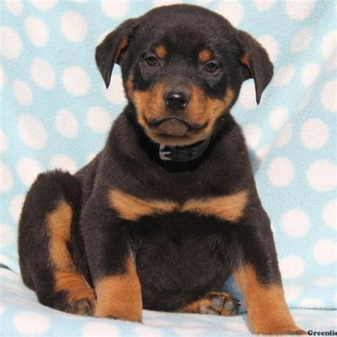 rotterman puppies mighty rotterman puppy for sale in pennsylvania
