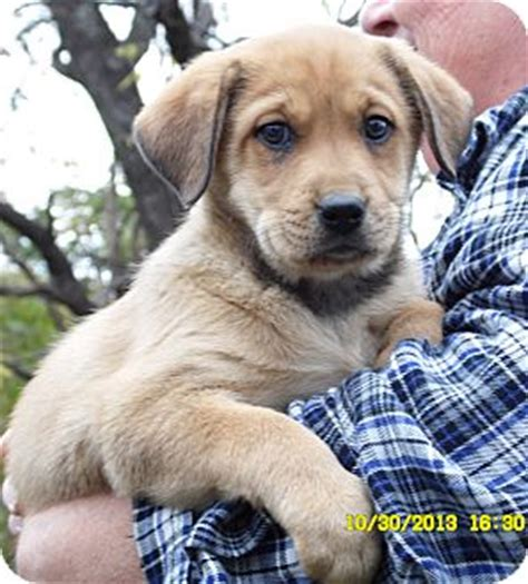 catahoula golden retriever mix thor adopted puppy sussex nj golden retriever catahoula leopard mix