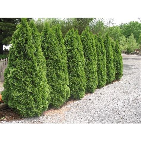 Arborvitae Patio Privacy Hedge 6 98 Lowes Backyard Landscaping