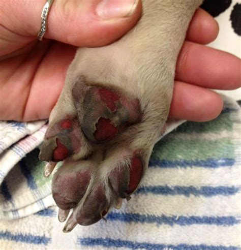 how to stop from paws paws pavement breeds picture