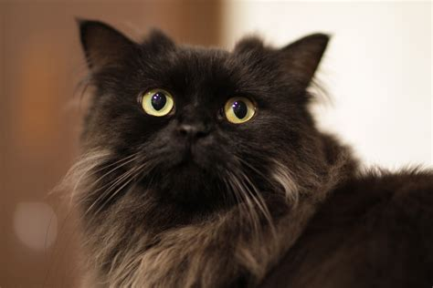 black breeds a complete guide to fluffy black cat breeds cbwp