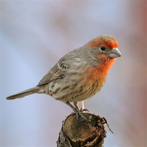 house finch images pictures of house finches 28 images house finch gorgeous animals creatures birds