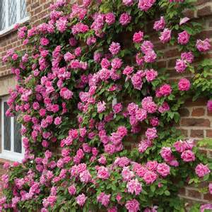 Flowering Climbing Plants - z 233 phirine drouhin repeat flowering popular searches