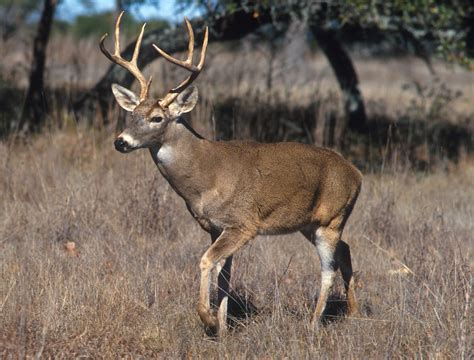 file white tailed deer jpg wikipedia
