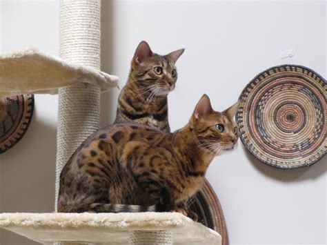 exotic house cats bengal tiger cats domestic quotes