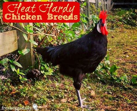 127 best images about backyard chicken care health on