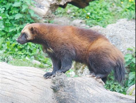 imagenes del animal wolverine picture 7 of 9 wolverine gulo gulo pictures images