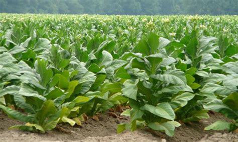 historical geography of crop plants a select roster books tabaco como planta medicinal tusplantasmedicinales