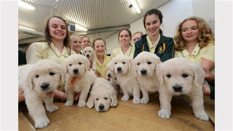 golden retriever school golden retriever puppies visit st clare s high school in taree manning river times