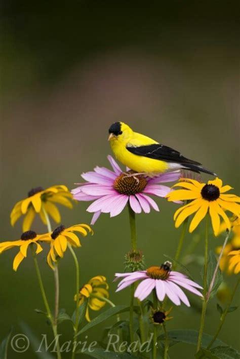 gold finch birds   world pinterest bird