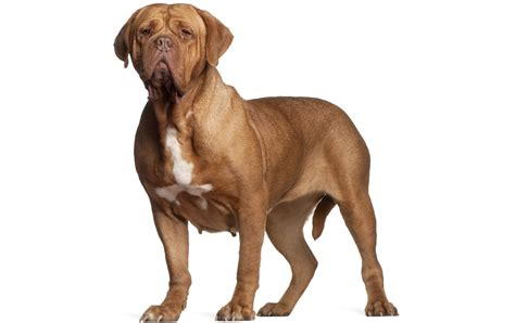 puppy breed dogue de bordeaux breed information pictures characteristics facts dogtime