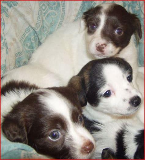 cani di piccola taglia da appartamento in regalo gullov decorazioni per soggiorno