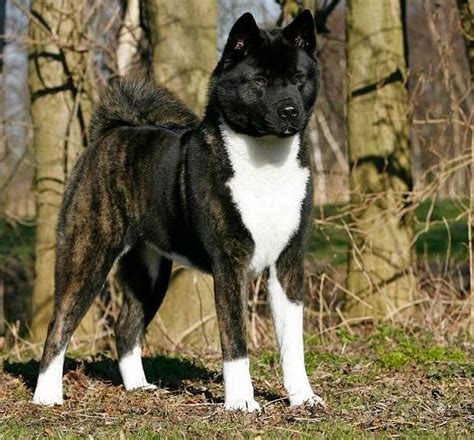 black akita puppies 25 best ideas about american akita on akita akita puppies and akita