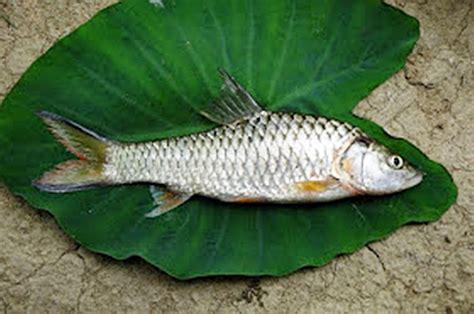Timbangan Untuk Ikan 23 manfaat dan khasiat ikan kancra untuk kesehatan