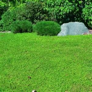 Green Carpet Plant Herniaria Glabra Green Carpet Ground Cover Seeds Rupturewort