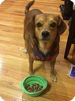 pugs for adoption in nj verona nj beagle pug mix meet poppie adoption pending a for adoption