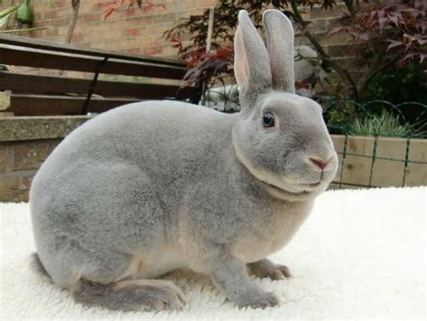 2019 mini rex nationals mini rex rabbit facts personality and care with